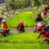Women transplanting rice in Nepal (photo credit: Tristan Savatier)