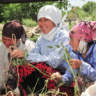 Women farmers in Central Asia (photo credits: N. Palmer / IWMI)