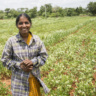 A groundnut farmer in India. New varieties developed without considering women's needs or preferences could have a negative impact on their well-being. (photo credit: ICRISAT)