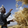 A farmer stacking harvested wheat Dodola district, Ethiopia. Photo: CIMMYT/P. Lowe