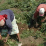 Husband and wife harvest potato. Photo credit J. Okonya/CIP